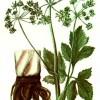 Дягиль аптечный (Archangelica officinalis Hoffm)