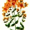 Зверобой пронзенный (Hypericum perforatum L.)