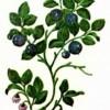 Черника (Vaccinium myrtillus L.)