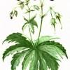 Герани луговая и лесная (Geranium pratense L. и G. silvaticum L.)