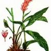 Горец змеиный (Polygonum bistorta L.)