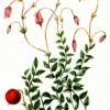 Клюква болотная (Oxycoccus palustris Pers.)