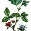 Костяника каменистая (Rubus saxatilis L.)