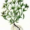 Сушеница болотная (Gnaphalium uliginosum L.)
