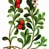 Толокнянка обыкновенная (Arctostaphylos uva-ursi Spreng.)