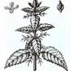Крапива двудомная (Urtica dioica L.)