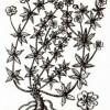 Лапчатка прямостоячая (Potentilla erecta Rausch.)
