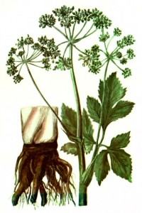 Дягиль аптечный (Archangelica officinalis Hoffm)