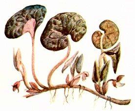 Копытень европейский (Asarum europaeum L.)