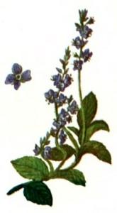 Вероника лекарственная (Veronica officinalis L.)