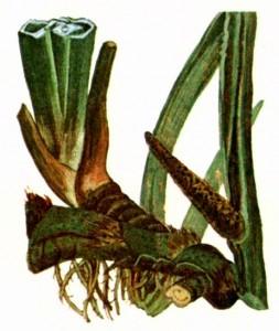 Аир болотный (Acorus calamus L.)
