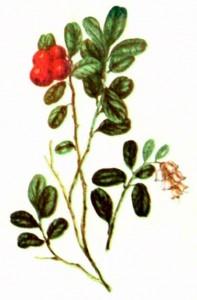 Брусника (Vaccinium vitis-idaea L.)