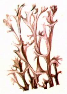 Цетрария исландская (Cetraria islandica L.)