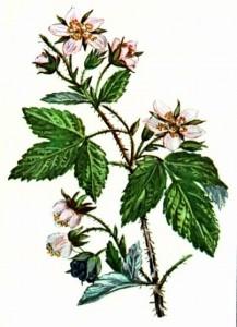 Ежевика сизая (Rubus caesius L.)
