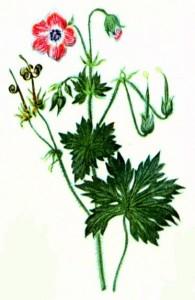 Герань болотная (Geranium palustre L.)