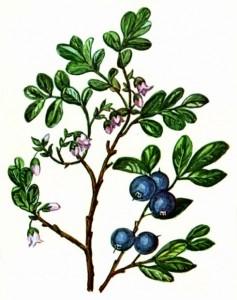 Голубика болотная (Vaccinium uliginosum L.)