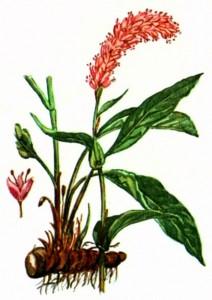 Горец змеиный (Polygonum bistoria L.)