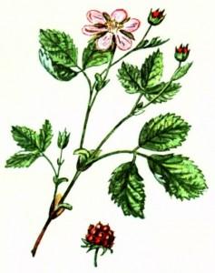 Княженика арктическая (Rubus arcticus L.)