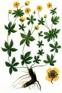 Лапчатка прямостоячая (Potentilla erecta Raeusch.)