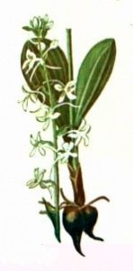 Любка двулистная (Platanthera bifolia L. С. Rich.)