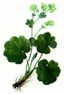 Манжетка обыкновенная (Alchemilla vulgaris L. em Juz.)