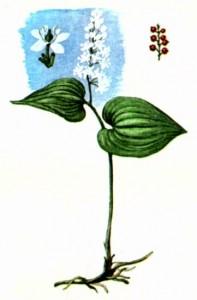 Майник двулистный (Majanthemum bifolium L.)