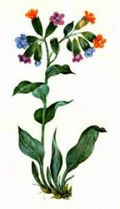 Медуница лекарственная (Pulmonaria officinalis L.)