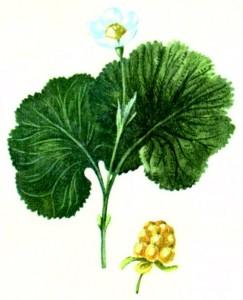 Морошка приземистая (Rubus chamaemorus L.)