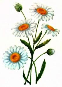 Нивяник обыкновенный (Leucanthemum vulgare Lam.)