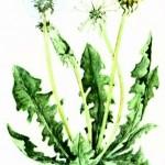 Одуванчик лекарственный (Taraxacum officinale Wigg.)