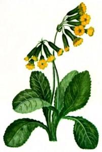 Первоцвет весенний (Primula veris L.)