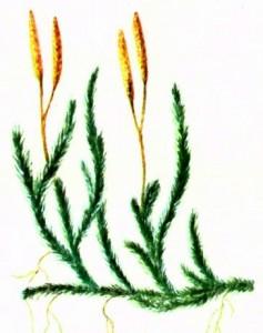 Плаун булавовидный (Lycopodium clavatum L.)