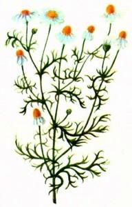Ромашка аптечная (Matricaria chamomilla L.)