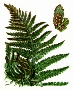 Щитовник  (папоротник)  мужской (Dryopteris filix-mas Schott.)