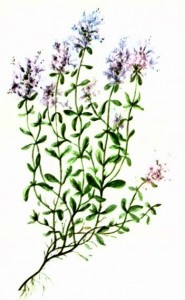 Тимьян ползучий (Thymus serpyllum L.)