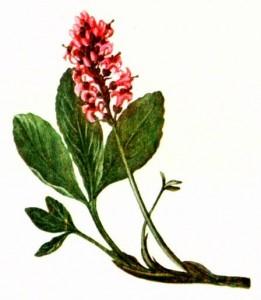 Вахта трехлистная (Menyanthes trifoliata L.)