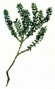 Водяника черная (Empetrum nigrum L.)