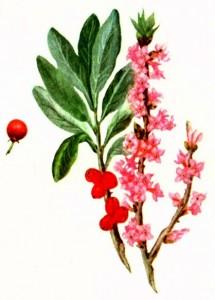 Волчье лыко (Daphne mezereum L.)