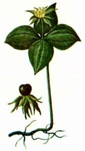 Вороний глаз (Paris quadrifolia L.)