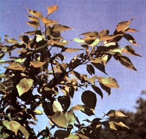 Абрикос обыкновенный (Armeniaca vulgaris Lam.)