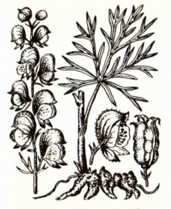 Аконит джунгарский (Aconitum soongoricum Stapf.)