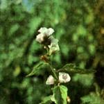 Алтей лекарственный (Althaea officinalis L.)