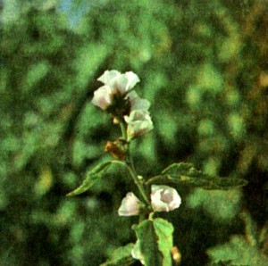Алтей лекарственный (Althaea officinalis L.)