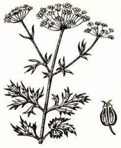 Анис обыкновенный (Anisum vulgare Gaertn.)
