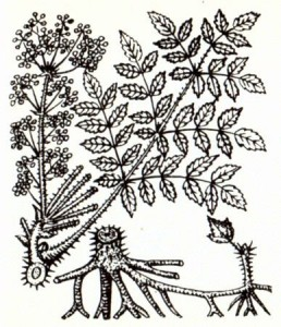 Аралия маньчжурская (Aralla mandshurica Rupr. et Maxim.)