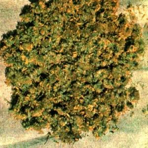 Арника горная (Arnica montana L.)