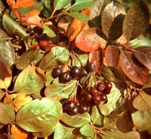 Арония черноплодная (Aronia melanocarpa Michx.)
