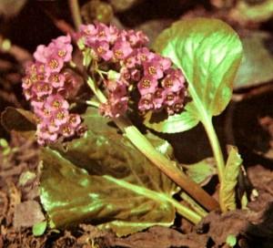 Бадан толстолистный (Bergenia crassifolia Frisch.)