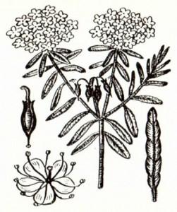 Багульник болотный (Ledum palustre L.)