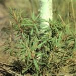 Багульник болотный (Ledum palustre L.), часть 2